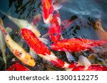 colorful fancy carp fish  koi... | Shutterstock . vector #1300112275