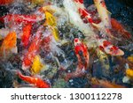 colorful fancy carp fish  koi... | Shutterstock . vector #1300112278