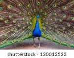 Indian Peacock   Pavo Cristatu...