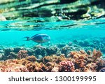 living coral reef in red sea ... | Shutterstock . vector #1300199995