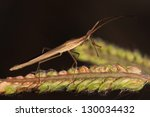 Small photo of Broad-headed Bug (Alydidae)