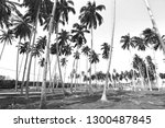 coconut palm trees on tropical... | Shutterstock . vector #1300487845