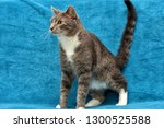 gray with white adult angry cat ... | Shutterstock . vector #1300525588