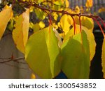yellow green autumn leaves on a ... | Shutterstock . vector #1300543852
