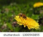 bee in pollen on  yellow... | Shutterstock . vector #1300543855