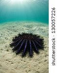 Small photo of A Crown-of-Thorns seasatar (Acanthaster planci) crawls across a sandy flat trying to reach a coral reef where it will feed. This species feeds on live reef-building corals.