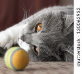 Stock photo british shorthair cat and her colorful ball 130062932
