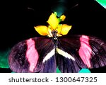 Longwing Butterfly  Heliconius...