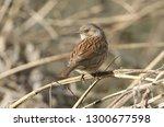 a pretty hedge sparrow ... | Shutterstock . vector #1300677598