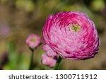 Giant Ranunculus Pink Flower...