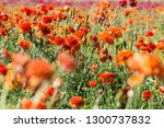 Giant Ranunculus Orange Flower...
