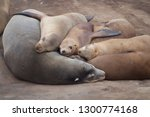 Harbor Seals Sleeping On The...