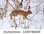 Stock photo the european hare lepus europaeus running on the winter forest 1300788685