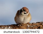 eurasian tree sparrow sitting... | Shutterstock . vector #1300794472
