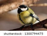great tit sitting on branch of... | Shutterstock . vector #1300794475