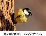 great tit perched on tree bark... | Shutterstock . vector #1300794478