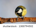 great tit sitting on branch of... | Shutterstock . vector #1300794502