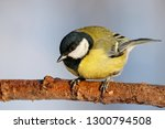 great tit sitting on branch of... | Shutterstock . vector #1300794508