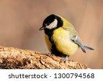 great tit sitting on branch of... | Shutterstock . vector #1300794568
