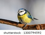 blue tit sitting on branch of... | Shutterstock . vector #1300794592