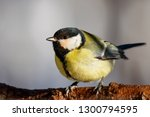 great tit sitting on branch of... | Shutterstock . vector #1300794595