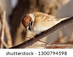 eurasian tree sparrow sitting... | Shutterstock . vector #1300794598