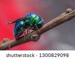 Sleeping Cuckoo Wasp