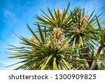 palm tree on the background of... | Shutterstock . vector #1300909825