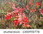 The bright red-orange fronds of a poison sumac, Rhus vernix, shrub glow in the sunshine surrounded by the bare stick of other wetland shrubs on a clear autumn afternoon in south west Michigan.