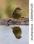the european greenfinch ... | Shutterstock . vector #1300969135