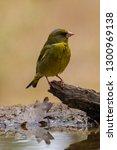 the european greenfinch ... | Shutterstock . vector #1300969138