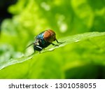 green bean fly on cabbage leaf | Shutterstock . vector #1301058055