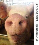 pink pig nose  snout  in pig... | Shutterstock . vector #1301104735