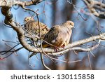 Mourning Doves Resting In A...