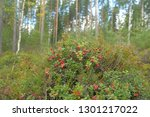 cowberry bushes in autumn... | Shutterstock . vector #1301217022