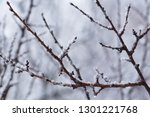 Snow Covered Tree Branch  Clos...