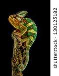 yemen chameleon | Shutterstock . vector #130125182
