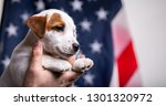 Stock photo american independence day concept cute puppy jack russell terrirer in male hands pose in front of 1301320972