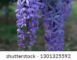 purple flower bunches tend to...   Shutterstock . vector #1301325592