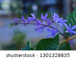 purple flower bunches tend to...   Shutterstock . vector #1301328835