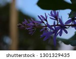 purple flower bunches tend to...   Shutterstock . vector #1301329435