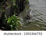 giant wild monitor lizard swims ...   Shutterstock . vector #1301366752