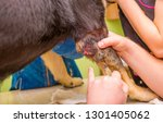 Small photo of Veterinarian treats a rottweiler dog in a veterinary clinic. A veterinary specimen treats a wound on a dog's paw and rebent.Makes an injection of chemotherapy into a cancer. Treatment of bone sarcoma