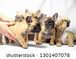 Stock photo group of puppies french bulldogs brown color 1301407078