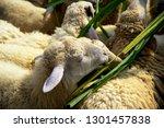 sheep eats green bush in the... | Shutterstock . vector #1301457838
