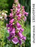 foxglove excelsior hybrids  ... | Shutterstock . vector #1301459548