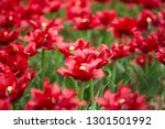 red tulips in the spring garden   Shutterstock . vector #1301501992