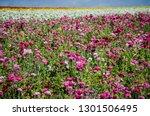Giant Ranunculus Flowers...