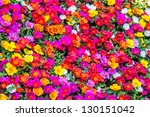 Stock photo colorful of portulaca oleracea common purslane also known as verdolaga pigweed little hogweed 130151042
