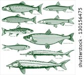 fish freshwater vector 2. types ... | Shutterstock .eps vector #130156475